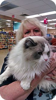 EASLEY, SC - Ragdoll. Meet Crisipin, a cat for adoption. http://www.adoptapet.com/pet/11684572-easley-south-carolina-cat