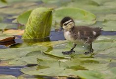 Duckling, exploring a lily pad