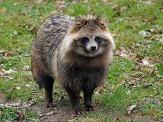 【海外の反応】 パンドラの憂鬱 海外「何だこの生き物は!」 日本固有種 タヌキなる動物の存在に外国人が衝撃