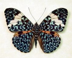 @viscanori Blue Hamadryas Real Paisely Framed Butterfly 7937 - by REALBUTTERFLYGIFTS