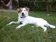 Border Collie English Setter Mix English Setter Mix Pinterest English Setters Collie And Dog