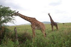 Giraffes munching on Acacia trees in the Ngorongoro Crater www.visiontravel.ca