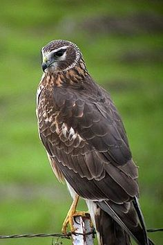 The Hen Harrier is 16–20 in. long with a 38–48 in wingspan. It resembles other…