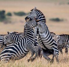 "Fabrizio Bignotti. (@fabriziobignotti) on Instagram: ""Zebras_ Masai Mara National Reserve."""