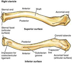 clavicle strut #anatomy