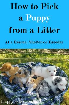 How to Pick a Puppy from a Litter - - Whether you are adopting or buying, you want to pick the best puppy for you. We have gathered the best tips to help you pick a puppy from a litter. Best Puppies, Best Dogs, Dogs And Puppies, Puppies Tips, Shitzu Puppies, Rottweiler Puppies, Doggies, Australian Shepherds, In China