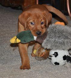 Fox Red Labrador Cute Little Animals, Adorable Animals, Animals Beautiful, Lab Puppies, Cute Puppies, Cute Dogs, Fox Red Labrador, Labrador Retriever, I Love Dogs
