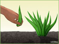 How to Grow an Aloe Plant With Just an Aloe Leaf. Growing Aloe Vera is easy. Planting it is a little trickier. Unlike other succulents and cacti, it is difficult to grow Aloe Vera from just a leaf. The chances of the leaf actually taking. Planting Succulents Indoors, Growing Aloe Vera, Growing Plants, Propagate Aloe Vera, Plant Leaves, Propagating Plants, Cacti And Succulents, Aloe Plant, Aloe Leaf