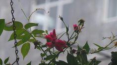 つるバラ  in SRILANKA