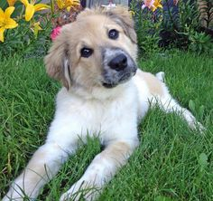 Zoey the Collie Mix -- Puppy Breed: Collie / Saint Bernard