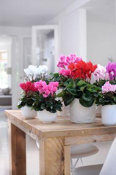 Allegri, vivaci e decorativi, i ciclamini sono la pianta perfetta per portare un po' di colore sui davanzali e terrazzi nei mesi più freddi