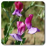 Organic Old Spice Sweet Pea #highmowingseeds