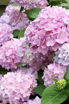 Hortensias rose