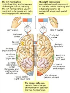 Left Hemisphere: Language, math and logic Brain Science, Brain Gym, Stem Science, Brain Diagram, Left Brain Right Brain, Corpus Callosum, Right To Education, Physical Education, Brain Anatomy