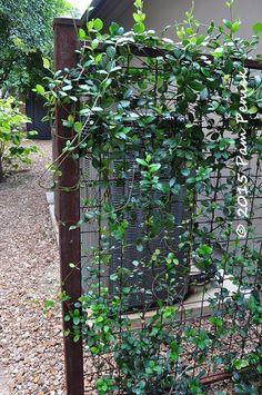 wire trellis with vine (jasmine in this case) to screen utlilties.