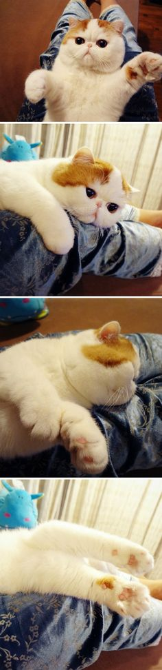 One day I will have an exotic shorthair, and I will name him snoopy.