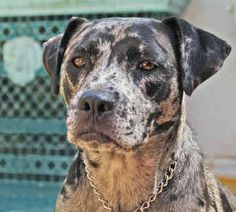 Carahoula leopard dog | Catahoula Leopard Dogs - Dogs - M'donna