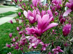 Magnolia heptapeta Jade Lily Seeds  Yulan Flower $6.99