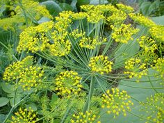 Dill (attracts bugs and birds that eat fleas and ticks)