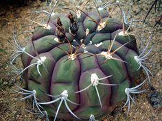 Gymnocalycium pflanzii v. albipulpa