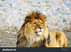 stock-photo-beautiful-mighty-lion-433128601.jpg (1500×1101)