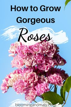 Learn how to grow roses for beginners and more in this post. You can grow roses in containers to display on your patio or back porch. Click on the pin to learn more ways to grow all kinds of roses. #roses #growroses #howtogrowroses #growrosesforbeginners #rosegarden Beautiful Flowers Garden, Amazing Flowers, Organic Gardening, Gardening Tips, Garden Art, Garden Design, Floribunda Roses, Rose Care, Types Of Roses