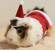 Guinea Pig Fashion, A Japanese Store Offering Stylish Wigs, Hats & Costumes… Guinea Pig Costumes, Guinea Pig Clothes, Pet Clothes, Animal Clothes, Guinea Pig Breeding, Pet Guinea Pigs, Guinea Pig Care, Japanese Store, Like Animals