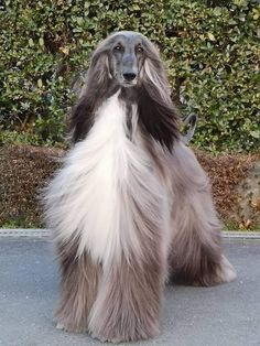 Cute Funny Animals, Cute Dogs, Afghan Hound, Tier Fotos, Dog Wear, Stylish Hair, Beautiful Dogs, Dog Grooming, Animal Pictures