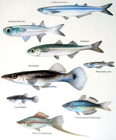 Items similar to California Grunion, Pike Killfish, Rainbowfish, etc. Vintage 1984 Fish Book Plate on Etsy - Tropical Freshwater Fish, Tropical Fish, Fish Drawings, Animal Drawings, Fish Chart, Doodle Drawing, Kunst Poster, Fish Print, Vintage Fishing
