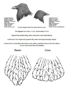 Tail feather difference