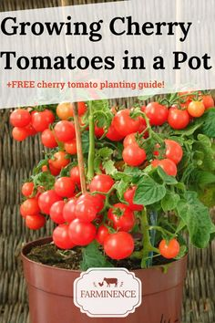 The way to grow cherry tomatoes within a pot with step by simply step instruction. FREE guideline to growing cherry tomato plants loaded with tips integrated! Container Gardening Vegetables, Container Plants, Vegetable Gardening, Container Design, Gardening For Beginners, Gardening Tips, Texas Gardening, Growing Cherry Tomatoes, How To Grow Tomatoes