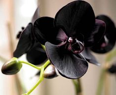 Zwarte Orchidee (Black Orchid)