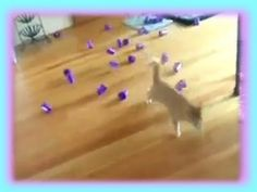 Kitty cat goes for STRIKE in laser bowling! More @ http://CutiesNFuzzies.com