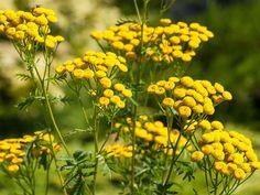 Wrotycz pospolity jest rośliną z gatunku astrowatych, powszechnie występującą na terenie Europy i Azji. Ma silny zapach, jest gorzka i pachnie kamforą. Wykazuje działanie przeciwnowotworowe, rozkurczo...