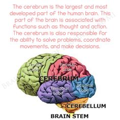 The #cerebrum is the largest and most #developed part of the #human #brain. This part of the brain is associated with #functions such as #thought and #action. The cerebrum is also #responsible for the #ability to solve problems, #coordinate #movements, and make #decisions. #brainfacts #brainhealth #learning #learn #education #brainbalance #addressthecause #Birmingham #MI