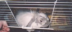 Cindy, an American Fuzzy Lop we cared for while he was in the rescue's care.