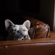 French Bulldog @enzoandlina