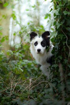 Wapi the Border Collie (by Erell Wapi)