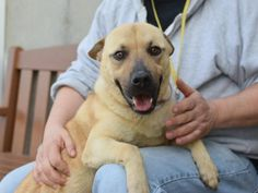SAFE❤️❤️ 9/9/16 PLEASE LOVE AND KEEP HER FOREVER❤️❤️ RETURN!! Brooklyn Center BELLA aka CINDY – A1066988 **RETURNED 08/30/16** SPAYED FEMALE, GOLD / BROWN, GERM SHEPHERD / LABRADOR RETR, 1 yr, 5 mos OWNER SUR – EVALUATE, HOLD FOR ID Reason MOVE2PRIVA Intake condition EXAM REQ Intake Date 08/30/2016, From NY 11421, DueOut Date 08/30/2016,