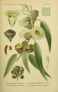 210 063 Eucalyptus globulus Labill.  / Mouillefert, P., Traité des arbres et arbrissaux, Atlas, t.  4, fig. A (1892-1898)