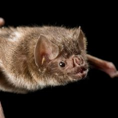 Find out who's on the menu for vampire bats, the only mammals that can fly and the only ones that survive on blood.