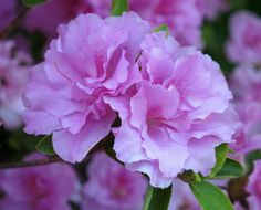 Lavender & Fuchsia Azaleas                                                                                                                        Azaleas, Kentlands, Spring Flowers IMG_9538             by        Roy and Dolores Kelley Photographs    ..