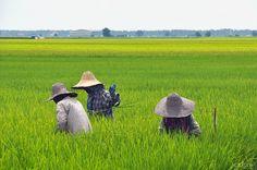 Sekinchan Padi Farmers | Flickr - Photo Sharing!