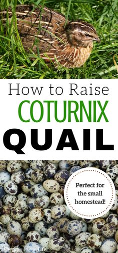 Raising quail is perfect for the homesteading beginner or on a small homestead. Learn the basics of raising coturnix quail from brooding to laying!