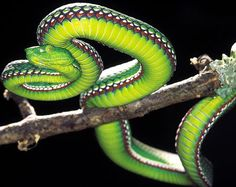[Trimeresurus medoensis] Motuo bamboo pit #viper. #snake #reptile #venomous