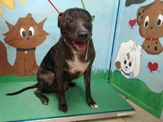 07/07/17- OWNER SURRENDER = NO HOLD REQUIRED = EXTREMELY URGENT- FACILITY IS FULL - HOUSTON -ROCKY - ID#A487778 My name is ROCKY I am a neutered male, brown brindle Mastiff. The shelter staff think I am about 1 year and 8 months old. I have been at the shelter since Jul 06, 2017. This information was refreshed 2 hours ago and may not represent all of the animals at the Harris County Public Health and Environmental Services.