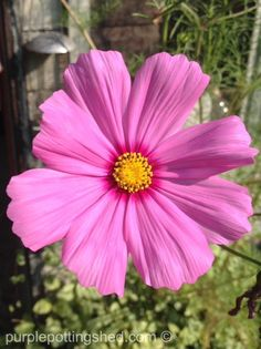 Simple but lovely cosmos!  www.purplepottingshed.com