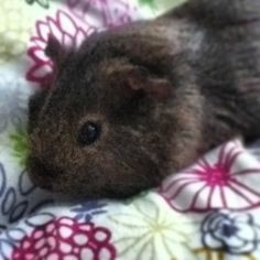 Sandy, my youngest beautiful guineapig