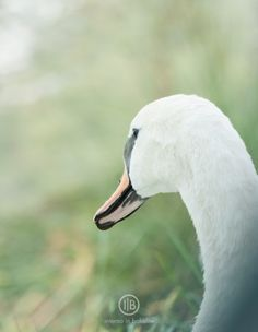 white swan @internoinbachelite