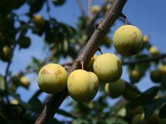 Plum 'Oullins Greengage' / eggs Plum - Prunus 'Oullins Greengage'